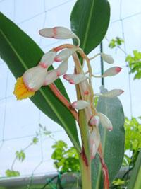 月桃(ゲットウ)の花